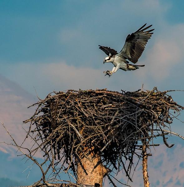 Osprey near Hungry Horse Reservoir