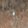 Cropped photo of Northern Shrike