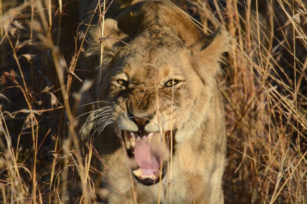 2015 Jul-Aug Sabi Sands Safari 1