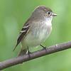 Least Flycatcher - Montrose
