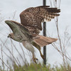 Red-tailed Hawk - Montrose