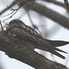 Common Nighthawk - Montrose