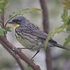 Kirtland's Warbler - Montrose