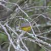 Canada Warbler - Montrose
