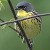 Kirtkland's Warbler - Montrose