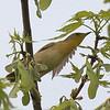 Common Yellowthroat - Montrose