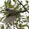 Kirtlands's Warbler - Montrose