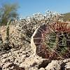 Lake Pleasant Bald Eagle Nestwatch - Barrel Cactus