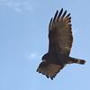 Lake Pleasant Bald Eagle Nestwatch - Zone-tailed Hawk