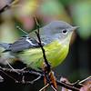 Magnolia Warbler - Montrose