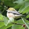 Bay-breasted Warbler - Montrose