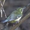 Female Black-throated Blue Warbler - Montrose
