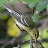 Blackpoll Warbler - Montrose