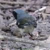 Male Black-throated Blue Warbler - Montrose - Montrose