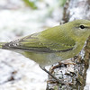 Tennessee Warbler - Montrose