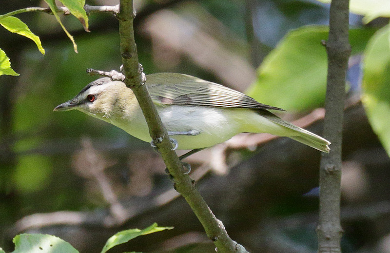 Red-eyed Vireo - Montrose
