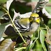 Black-throated Green Warbler - Montrose