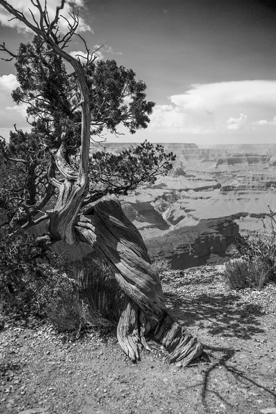 B&W Tree Grand Canyon National Park-South Rim