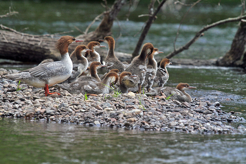 Sampson-Mark-Merganser-2-2015