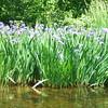 Native purple Iris everywhere