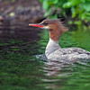 Sampson-Mark-Merganser-5-2015