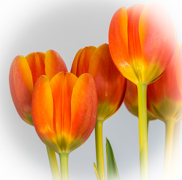 Carrie's Tulips!