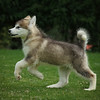 MalamutePuppies11