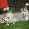 MalamutePuppies15