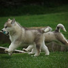 MalamutePuppies03