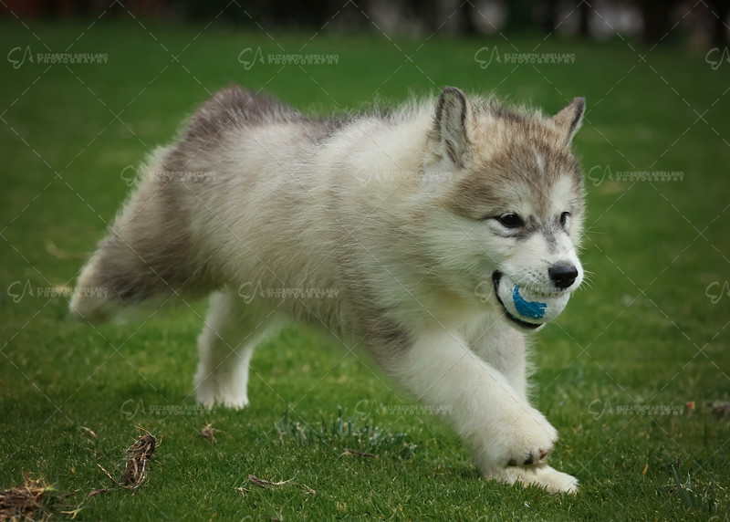 MalamutePuppies01