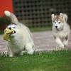 MalamutePuppies14
