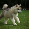 MalamutePuppies06