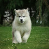 MalamutePuppies08
