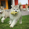 MalamutePuppies16