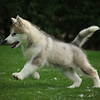 MalamutePuppies10