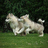 MalamutePuppies07