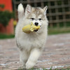 MalamutePuppies13