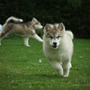 MalamutePuppies09