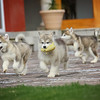 MalamutePuppies18