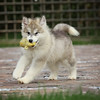 MalamutePuppies12