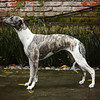 WHIPPETS09