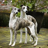 WHIPPETS07