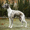 WHIPPETS13