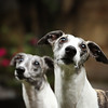 WHIPPETS03