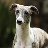 WHIPPETS19