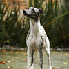 WHIPPETS17