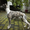 WHIPPETS15