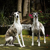 WHIPPETS01