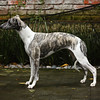 WHIPPETS10