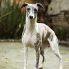 WHIPPETS18
